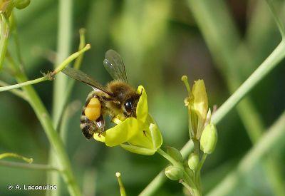 Questions-r_ponses_sur_les_abeilles_abeille.jpg