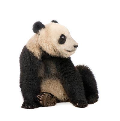 D_couvrir_une_esp_ce_menac_e_-_le_panda_Panda.jpg