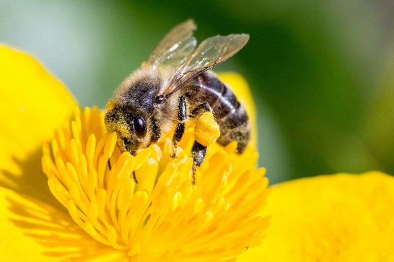 S initier aux sciences participatives la campagne pollinating-bee-1494518889O0p-DomainePublic.jpg