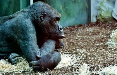 Le_gorille_invisible_gorilla-2871369_960_720.jpg